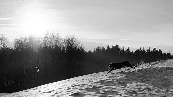 Dog And Bird, Running Dog, Weimaraner