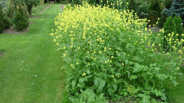Mustard, Flower, Yellow, Flowers Group, Rush