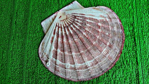 Seashell, Scallop, Nature, Sea, Shells