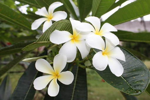 More Information, Flowers, Frangipani, White Flowers