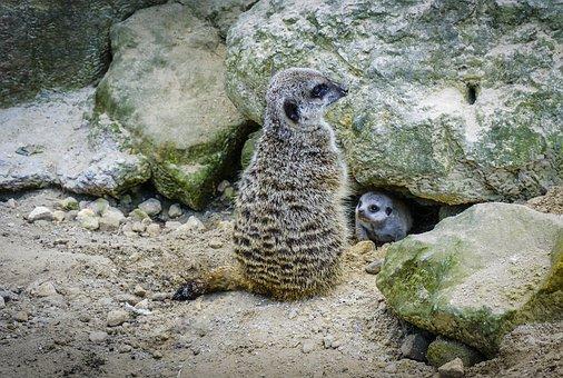 Meerkat, Baby, Fauna, Wildlife, Attentive, Alert, Cute