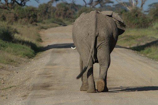 Africa, African Bush Elephant, Amboseli, Big Five