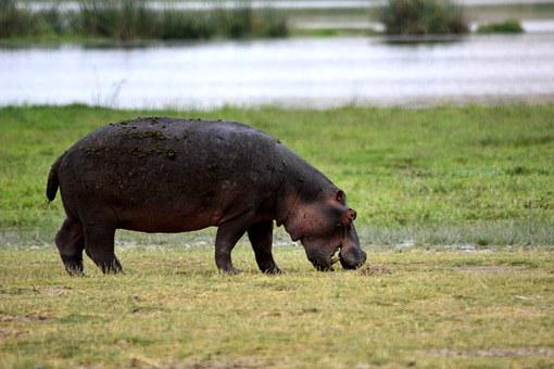 Hippo, Amboseli, Africa, Kenya, Safari, National Park