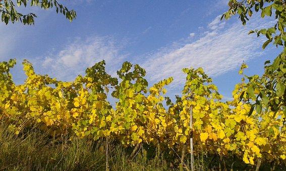 Germany, Sachsen, Rheinhessen, Osthofen, Vines, Autumn