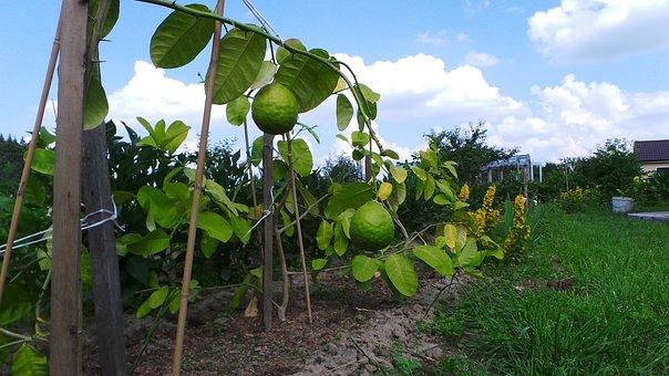 Lemon, Fruit, Citrus, Green, Fresh, Garden