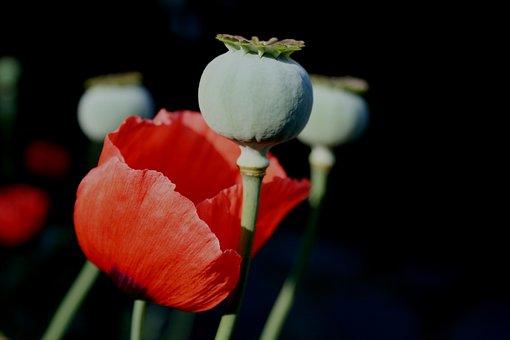 Flower, Poppy, Bloom, Red, Petals, Delicate, Fragile