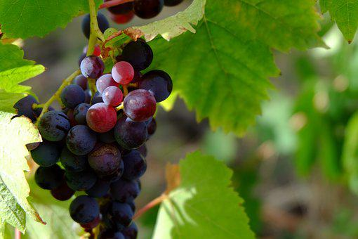 Grapes, Fruit, Nature, Autunm, Collected