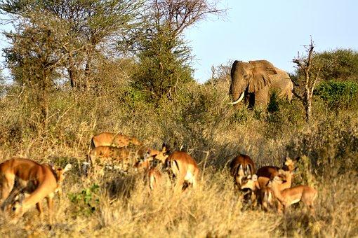 Elephant, Impala, Gazella, Amboseli, Africa, Kenya