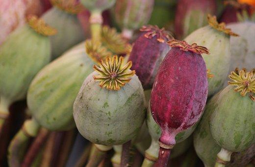 Poppy, Poppy Capsules, Mohngewaechs, Flora, Plant