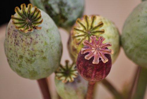 Poppy, Poppy Capsules, Macro, Mohngewaechs, Nature