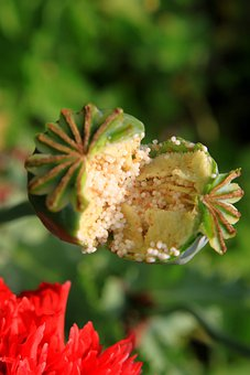 Capsules, Garden, Opium, Papaver, Poppy, Pods, Raw