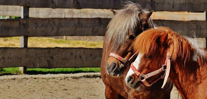 Horses, Pair, Smooch, Play, Pony, Funny, Animal