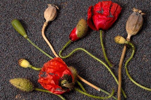 Poppy, Flowers, Poppy Capsules, Red Poppy, Blossom