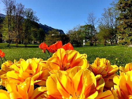 Tulips, Flowers, Foreground, Aschau, Chiemgau, Sky