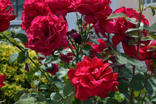 Red Flowers, Floral, Garden, Gardening, Bloom, Natural