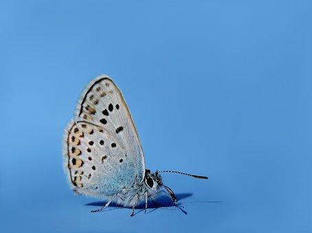 Common Blue, Hauhechel Blue, Butterfly