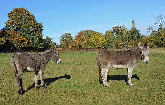 Donkeys, Equines, Males, Domestic Animal, Animal