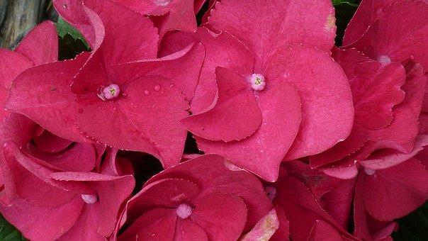Hydrangea, Flower, Red, Flower Ball, Flower Garden