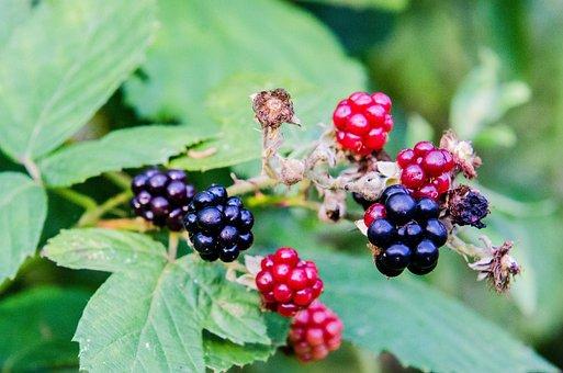 Blackberry, Garden, Fruit, Berry, Food, Nature, Summer