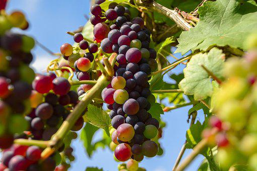 Grapes, Fruit, Winegrowing, Vine, Grapevine, Nature
