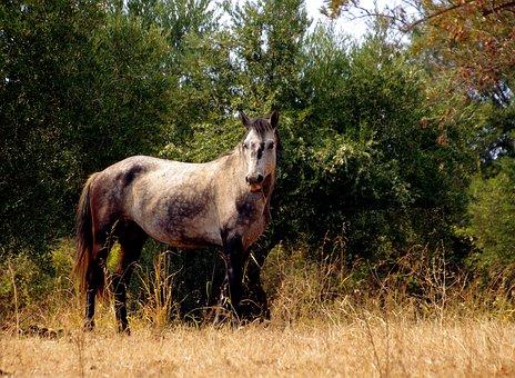 Horse, Filly, Gray, Mare, Horses, Pollino National Park