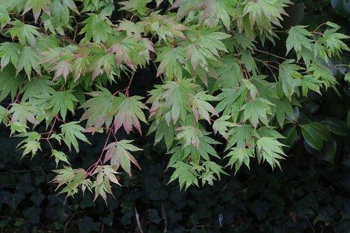 Acer, Leaves, Tree, Green, Palmatum, Foliage