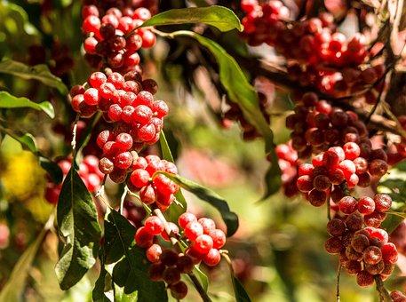 Autumn Olive, Japanese Silverberry, Invasive Plant