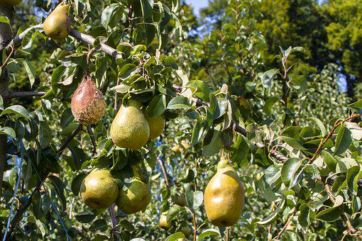Pears, Risk Of Infection, Infection, Lazy