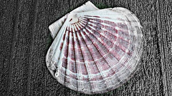 Scallop, Seashell, Nature, Sea, Beach