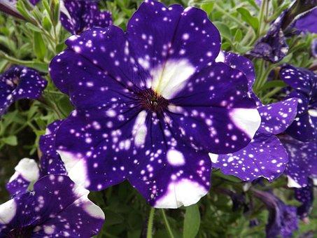 Petunias, Night Sky, Flower, Blossom, Ornamental