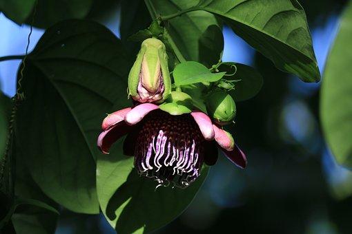Passiflor, Flower, Climbing, Purple, Summer, Botany