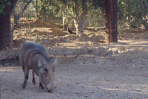 Warthog, Pumba, Zoo, Pig, Wildlife, Hog, Africa, Nature