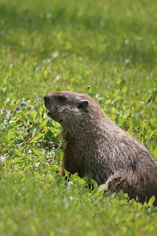 Groundhog, Animal, Wildlife, Nature, Rodent, Fur