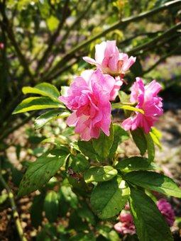 Flower, Rose, Rosa Multiflora
