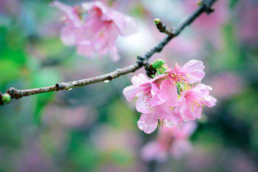Sakura, Pink, Bokeh, Blossom, Spring, Nature, Cherry