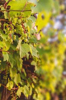 Grapes, Vine, Wine, Foliage, Slovakia, Berry