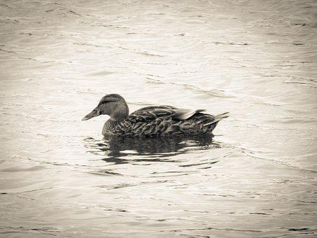 Duck, Water, Split Toning, Black And White