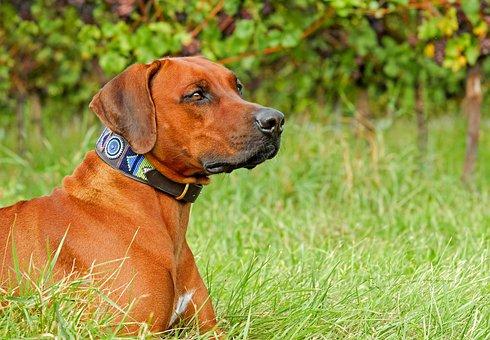 Rhodesian Ridgeback, Dog, Is, Attention, Vigilant
