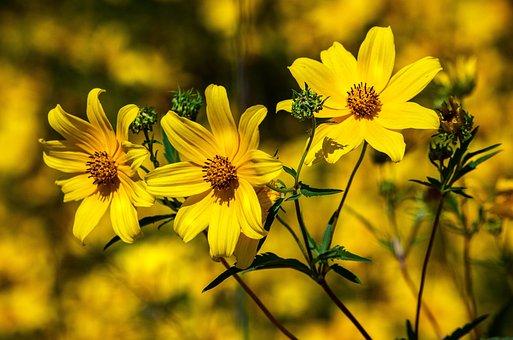 Tickseed, Coreopsis, Calliopsis, Wildflower