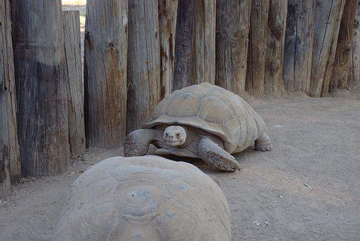 Tortoise, Reptile, Big And Slow, Zoo
