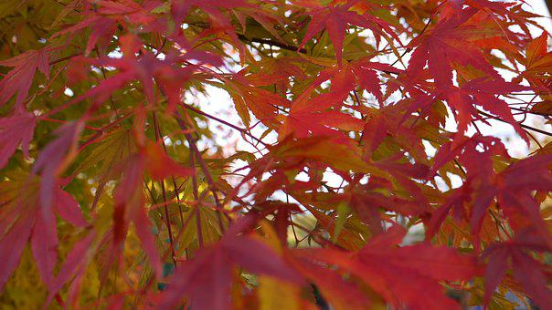 Autumn Fire, Light, Maple, Japanese, Gold Orange