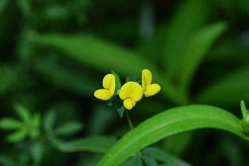 Bee Yellow Flower, Asian Birdsfoot-trefoil, Yellow