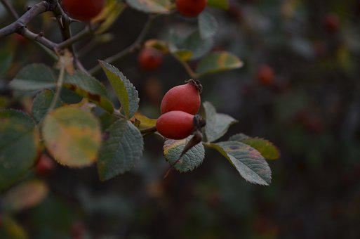 Rosehip, Cranberry, Green, Focal Point
