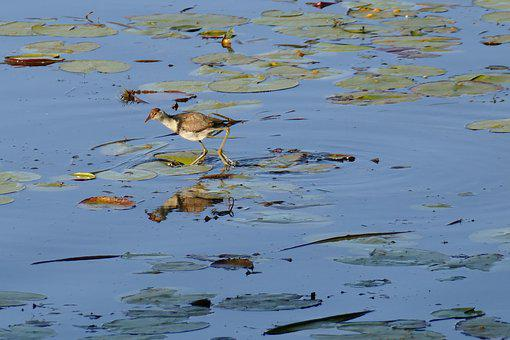 Birds, Jacana, Lake