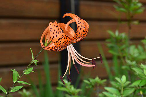 Lilium Lancifolium, Lily, Night Lily, Love Or