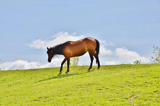 Horses, Animal, Mammal, Stallion, Farm, Wild, Mane, Run