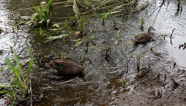 River, Ripples, Ducks, Pacific Black, Torrens River