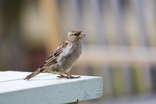 House Sparrow, Female, Bird, Nature, Tame, Plumage