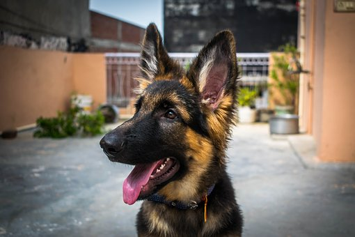 Dog, Puppy, Gsd, Cute, Canine, Pet, Animal, Adorable