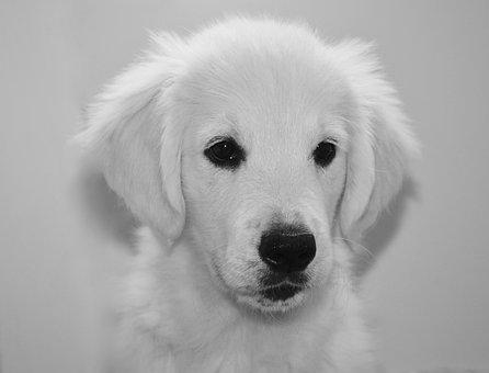 Puppy, Pup, Golden Retriever, Photo Black White